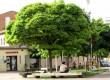Tractament fitosanitari als arbres de Calaf