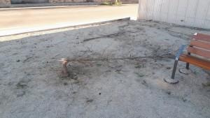 Un dels dos arbres destrossats la  nit de Carnestoltes